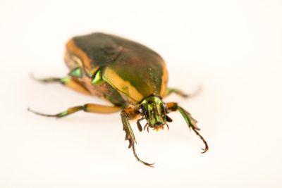 Photo: June Beetle (Cotinis nitida) at the Cincinnati Zoo.