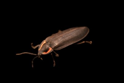 Photo: A firefly, Ellychnia hatchi, at A Rocha Brooksdale Environmental Center in Surrey, BC.