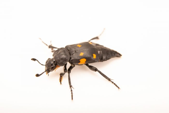 Photo: A burying beetle, Nicrophorus defodiens, at A Rocha Brooksdale Environmental Center in Surrey, BC.