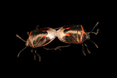 Photo: A pair of copulating twice-stabbed stink bugs, Cosmopepla lintneriana, at A Rocha Brooksdale Environmental Center in Surrey, BC.