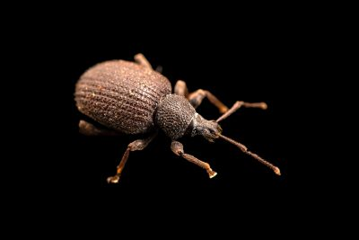 Photo: A black vine weevil, Otiorhynchus sulcatus, at A Rocha Brooksdale Environmental Center in Surrey, BC.
