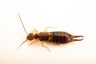 Photo: A European earwig, Forficula auricularia, at A Rocha Brooksdale Environmental Center in Surrey, BC.