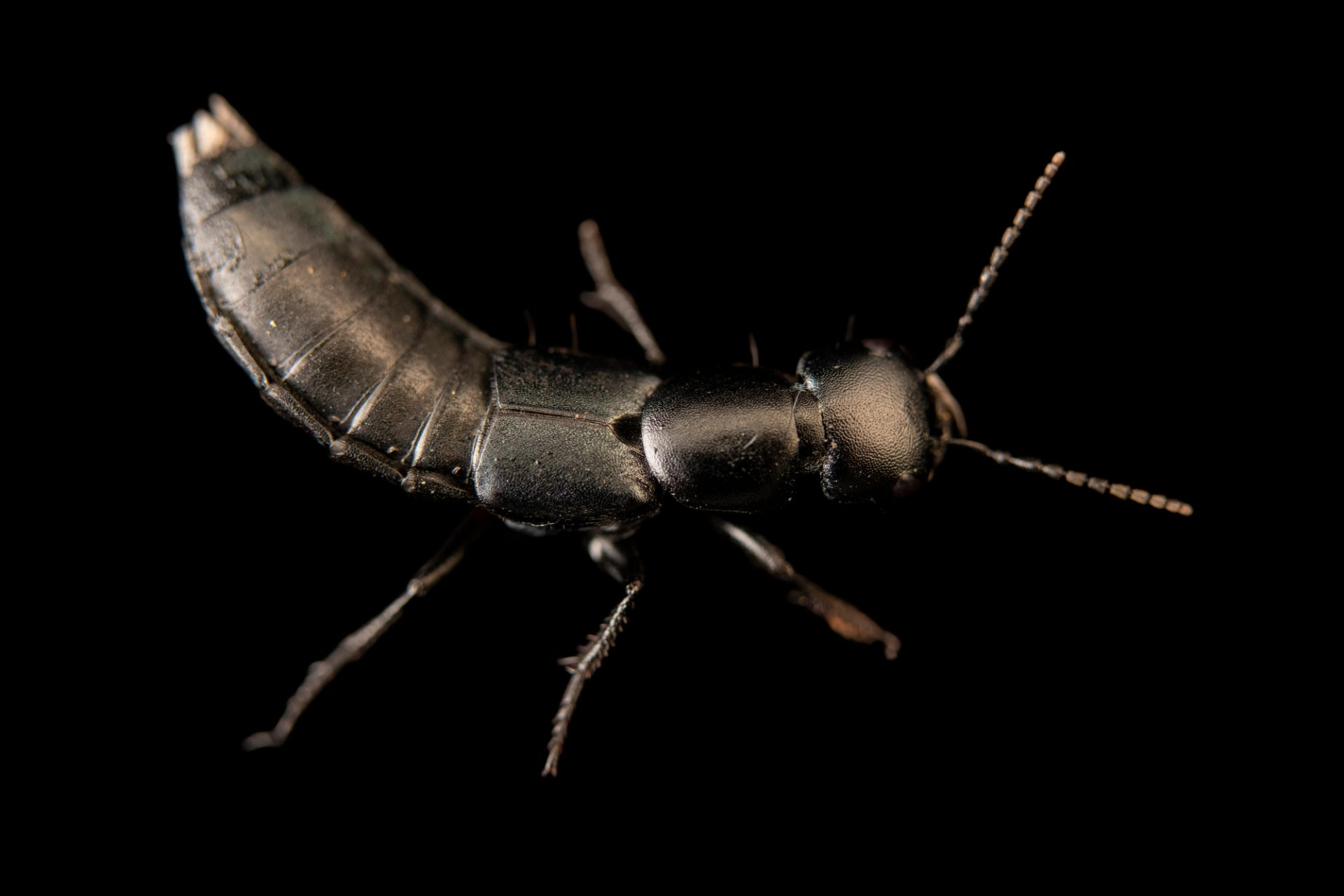 Photo: Devil's coach horse beetle (Ocypus olens) at Graham's Quinta dos Malvedos Vineyard.