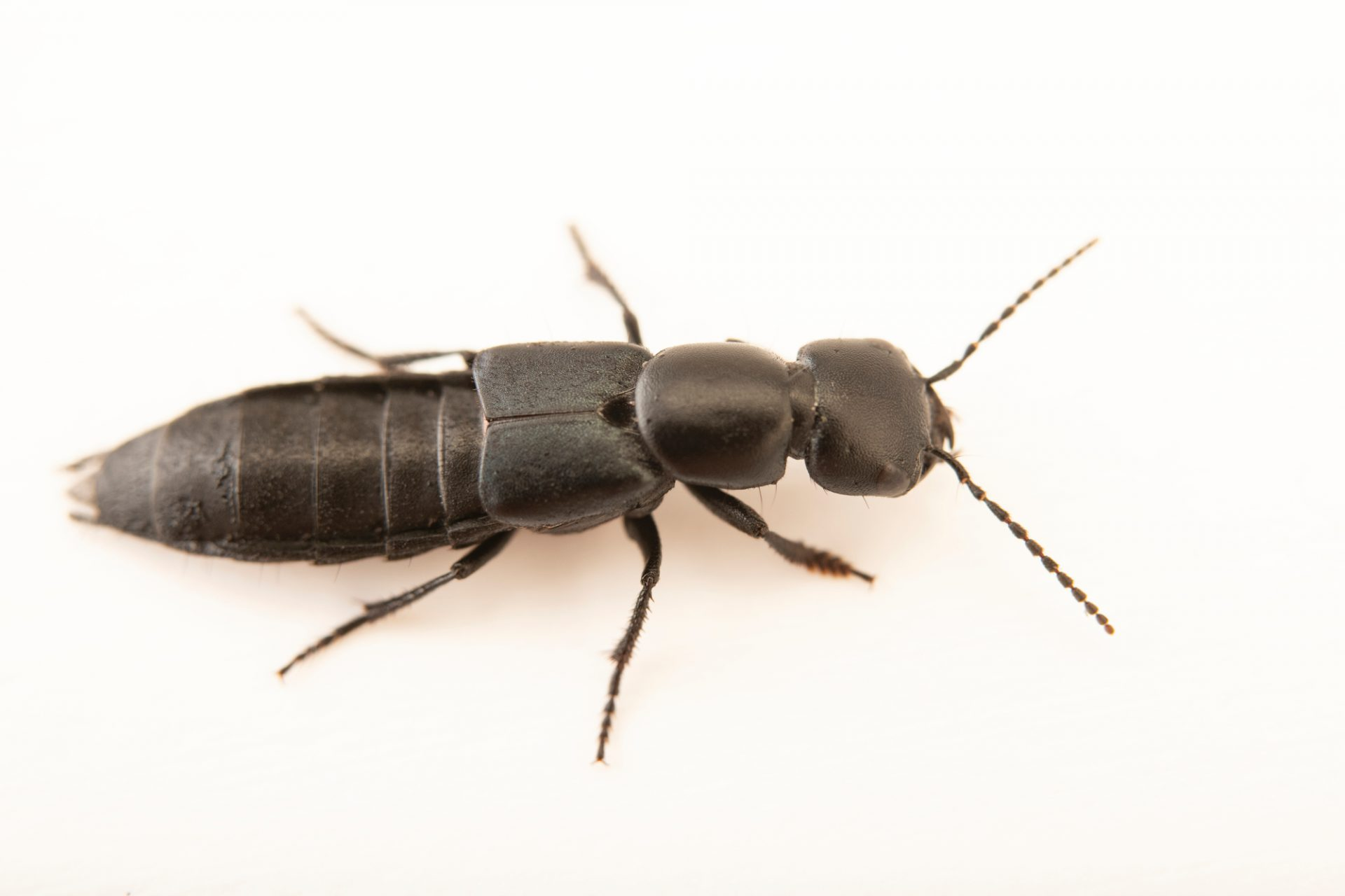 Photo: Devil's coach horse beetle (Ocypus olens) at Graham's Quinta dos Malvedos Vineyard.