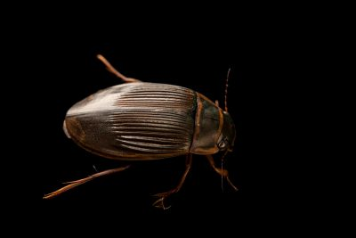 Photo: Female diving beetle (Dytiscus sp.) at Graham's Quinta dos Malvedos Vineyard.
