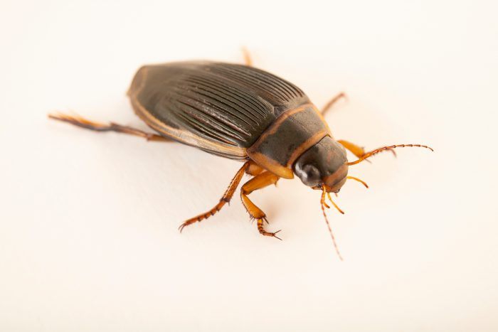 Photo: Female diving beetle (Dytiscus sp.) at Graham's Quinta dos Malvedos Vineyard.
