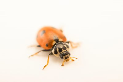 Photo: A adonis ladybird (Hippodamia variegata) at Graham's Quinta dos Malvedos Vineyard.