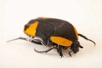 Photo: Flower beetle (Pachnoda abyssinica) at the Moscow Zoo.