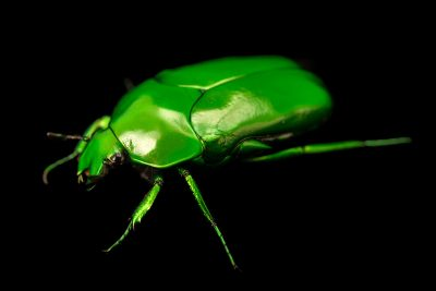 Photo: Green flower beetle (Ischopsopha wallacei yorkiana) at Melbourne Zoo.