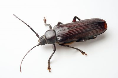 Photo: Longhorn beetle (Cerambycidae sp) from the wild in Cameroon.