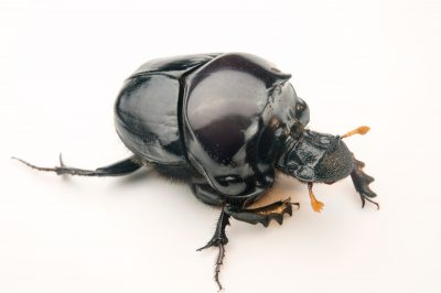 A Waterhouse dung beetle (Diastellopalpus johnstoni) from the wild in Cameroon.