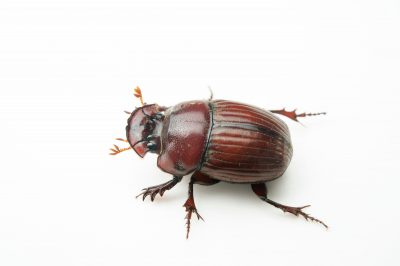Photo: Dung beetle (Copris complexus) from the wild in Cameroon.