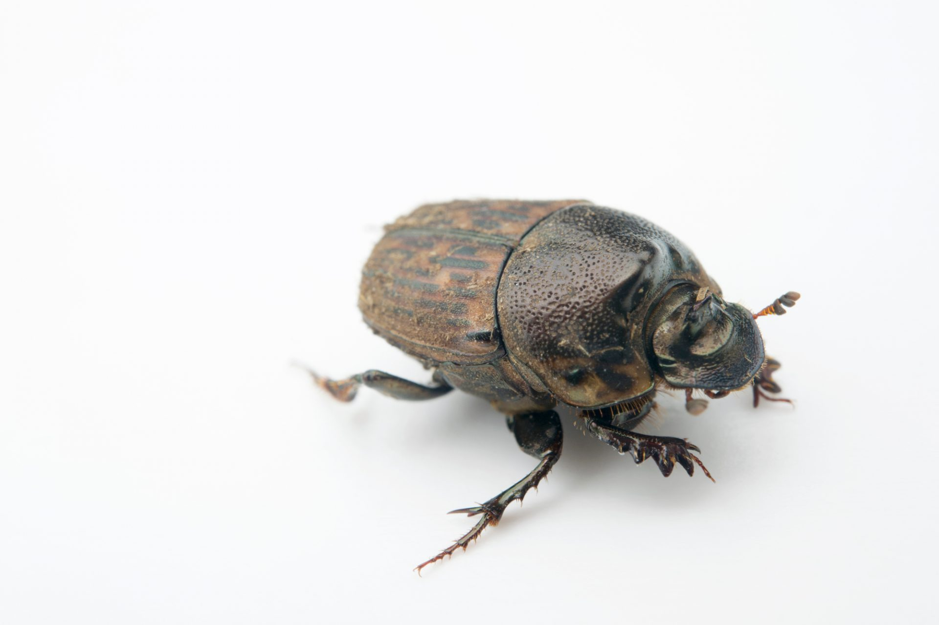 Photo: A dung beetle (Liatongus fulvostriatus) from the wild in Cameroon.