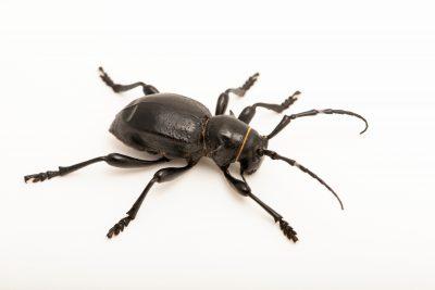 Photo: Black cactus longhorn beetle (Moneilema armatum) at the Woodland Park Zoo.