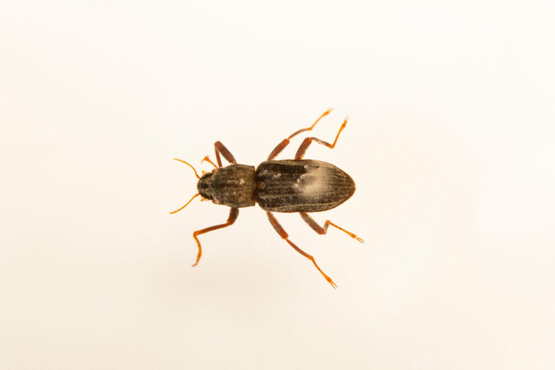 Photo: Devils Hole warm spring riffle beetle (Stenelmis calida calida) at Ash Meadows National Wildlife Refuge in NV.