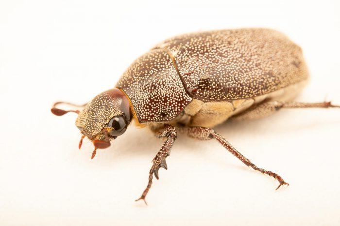 Photo: Cane beetle (Dermolepida alborhitum) at Crocolandia in the Philippines.