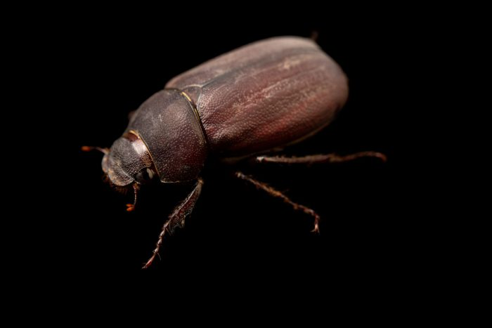 Photo: A wild caught unidentified beetle from Mt. Makiling forest in Luzon, Philippines.