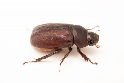 A wild caught chafer beetle (Holotrichia sp.) from Mt. Makiling forest in Luzon, Philippines.