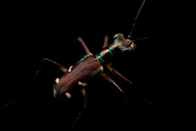 Photo: A wild caught unidentified Tiger beetle from Mt. Makiling forest in Luzon, Philippines.