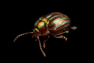 Photo: A leaf beetle (Chrysolina Americana) at the Biodiversity Hall of Natural History and Science Museum.