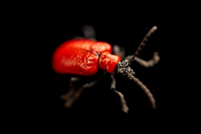 Photo: A scarlet lily beetle (Lilioceris lilii) at the Biodiversity Hall of Natural History and Science Museum.