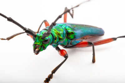 Photo: Longhorn beetle (Plinthocoelium sauveolens) at the Insectarium in New Orleans.