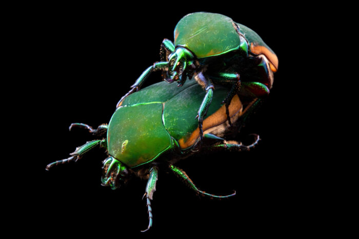 Photo: Arizona green June beetles (Cotinis mutabilis) at the Audubon Butterfly Garden and Insectarium in New Orleans, Louisiana.