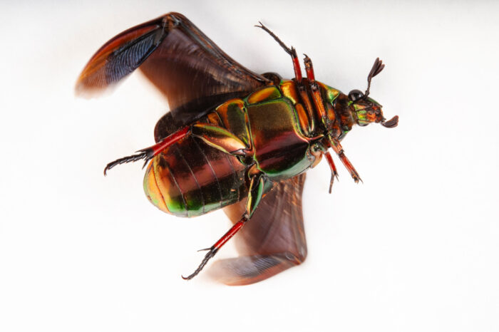 Photo: Asian flower beetle (Agestrata orichalca) at the Insectarium in New Orleans.