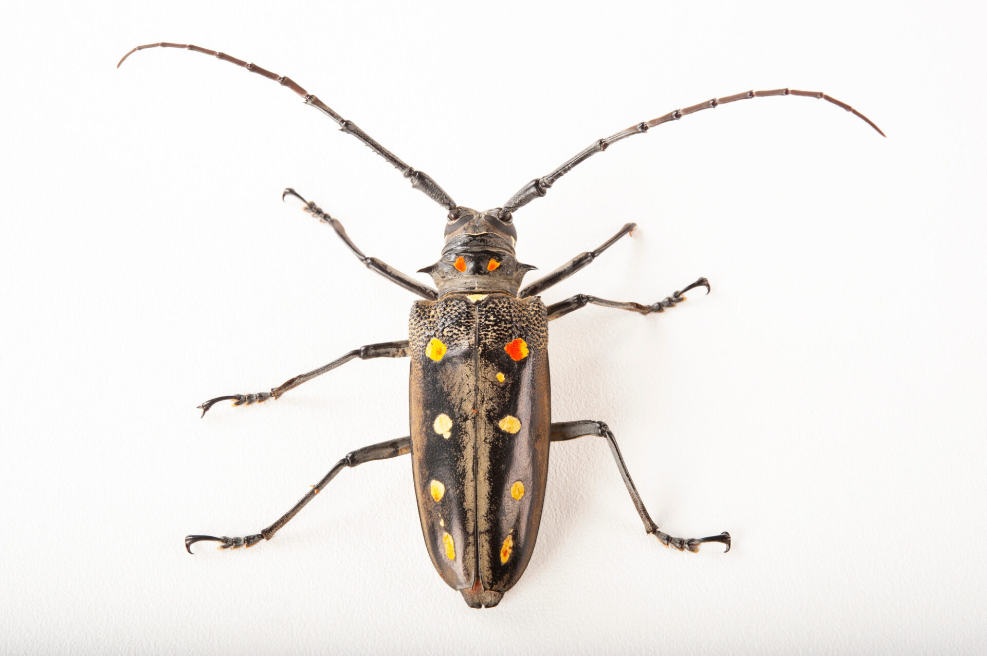 Photo: White-spotted longhorn beetle (Batocera hector) at the Insectarium in New Orleans.