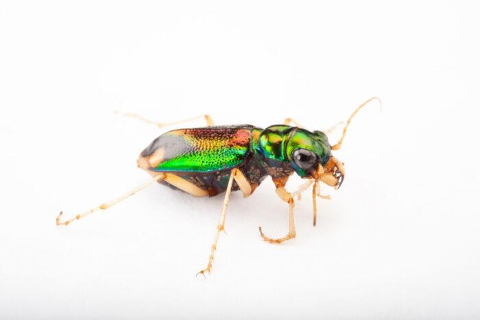Photo: Carolina tiger beetle (Tetracha carolina) at the Insectarium in New Orleans.