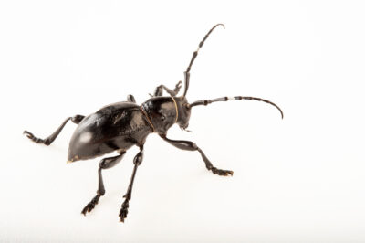 Photo: Cactus longhorn beetle (Moneilema gigas) at the Insectarium in New Orleans.