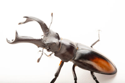 Photo: Deer-horn stag beetle (Hexarthrius deyrollei) at the Insectarium in New Orleans.