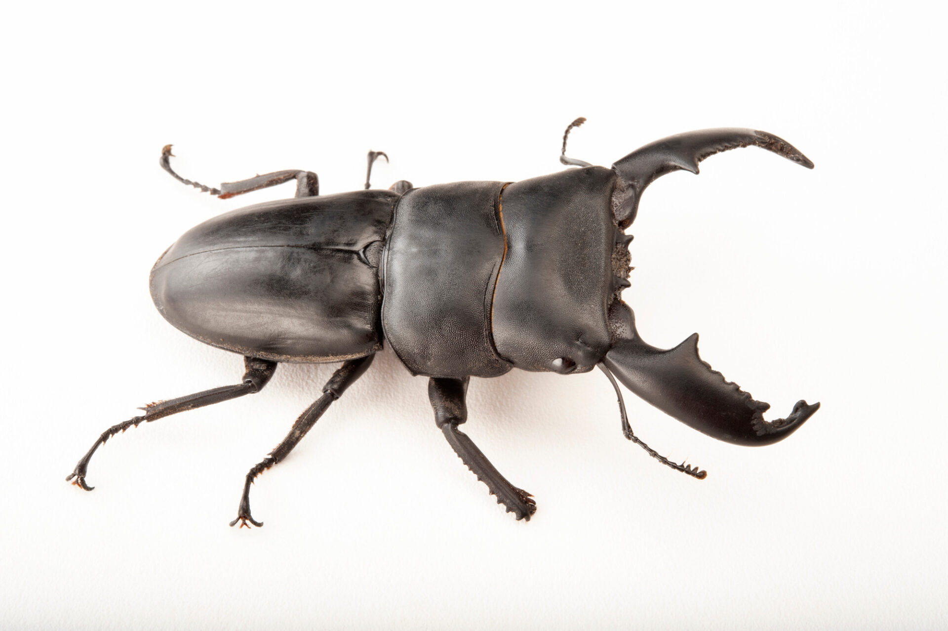 Photo: Black stag beetle (Dorcus titanus) at the Insectarium in New Orleans.