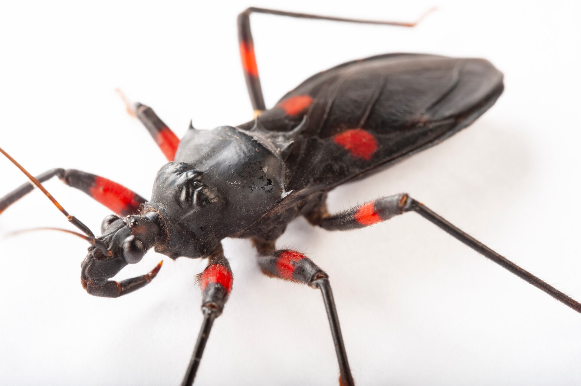 Photo: Red-spotted assassin bug (Platymeris rhadamanthus) at the Insectarium in New Orleans.