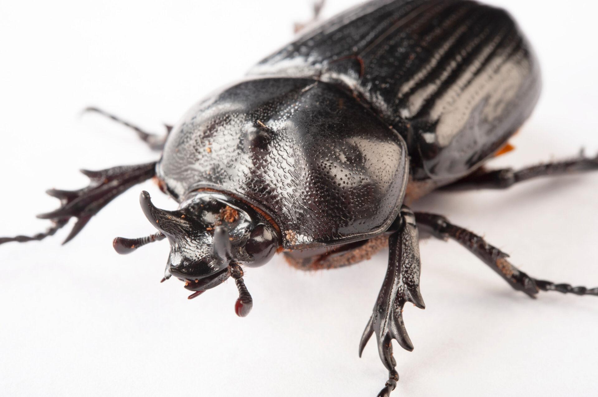 Photo: Triceratops beetle (Phileurus truncatus) at the Insectarium in New Orleans.