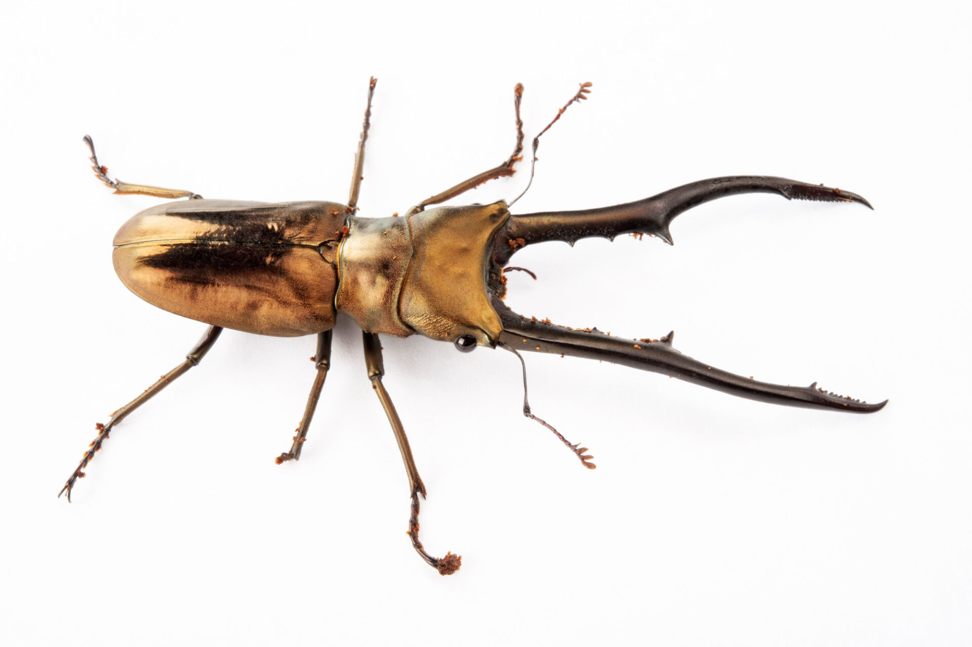 Photo: Long-mandibled stag beetle (Cyclommatus metallifer) at the Insectarium in New Orleans.