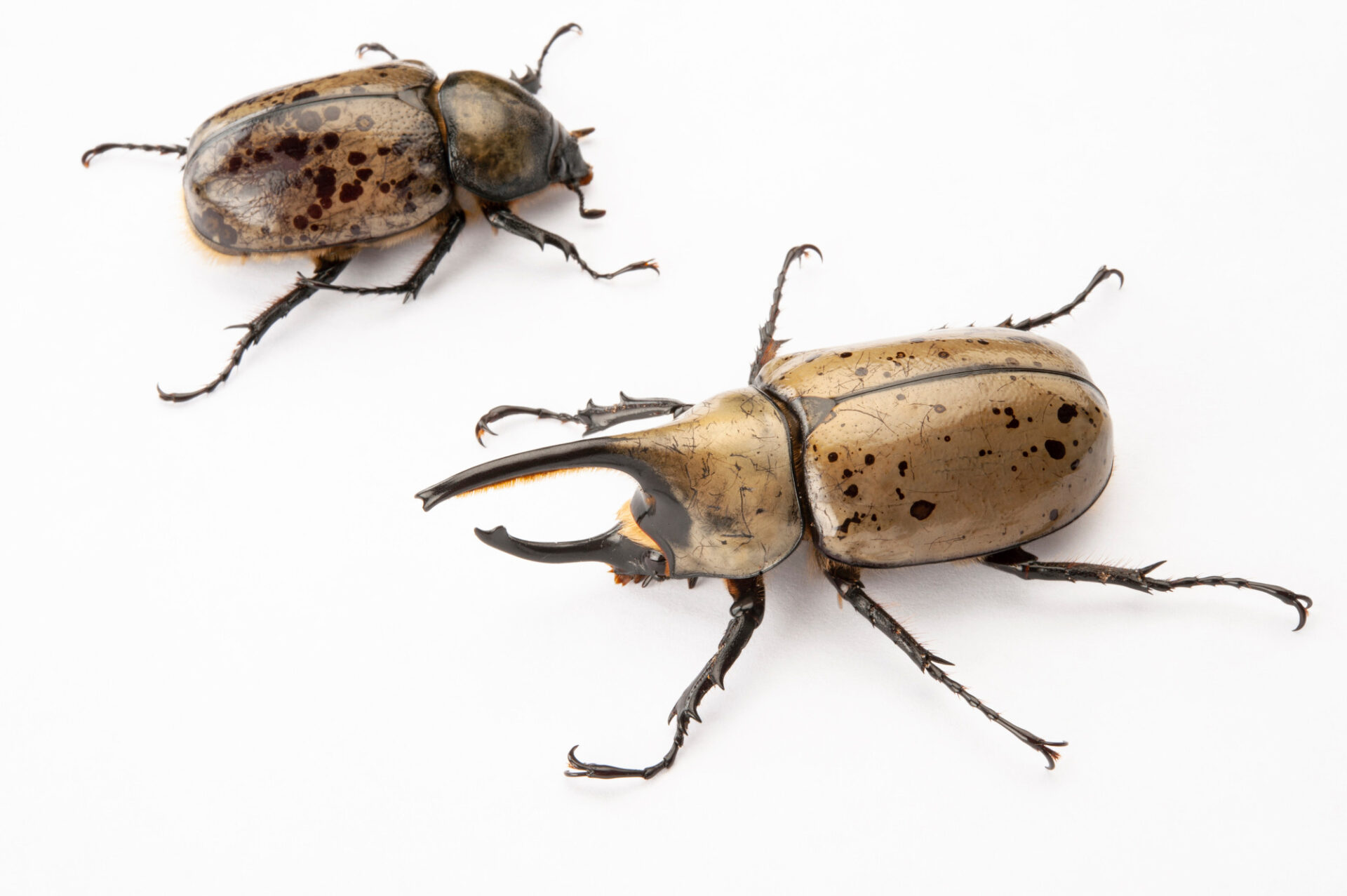 Photo: Grant's hercules beetles (Dynastes granti) at the Insectarium in New Orleans.