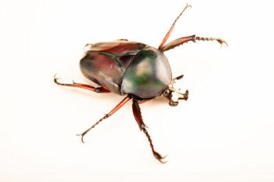 Photo: A Derby's flower beetle (Dicronorhina derbyana conradsi) at Aquarium Berlin.