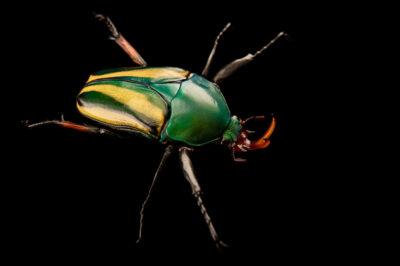 Photo: A striped love beetle (Eudicella gralli pauperata) at the Aquarium Berlin.