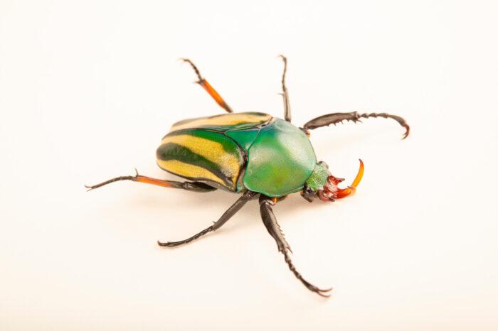 Photo: A striped love beetle (Eudicella gralli pauperata) at Aquarium Berlin.
