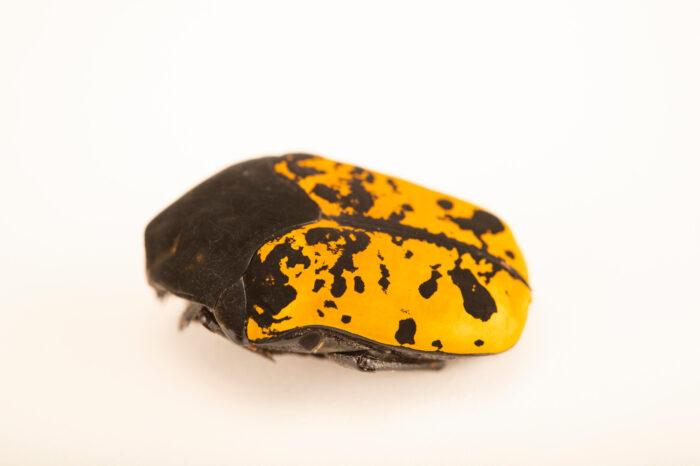 Photo: A flower beetle (Gymnetis marmorea) at Aquarium Berlin.