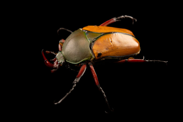 Photo: A flower beetle (Eudicella euthalia bertherandi) at Aquarium Berlin.