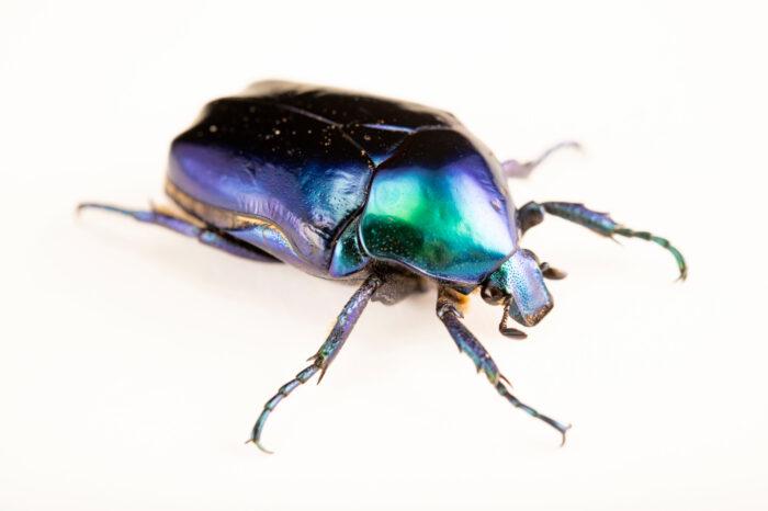Photo: A flower beetle (Cetonischema speciosa cyanochlora) at Aquarium Berlin.