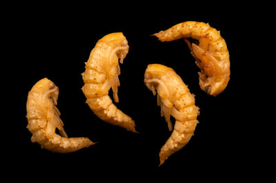 Photo: Four pupa of darkling beetle (Zophobas morio) at Centro Jambatu in Quito, Ecuador.