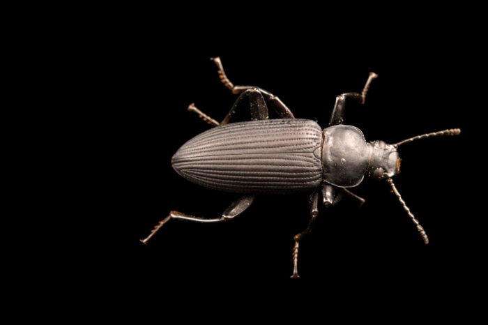 Photo: An adult darkling beetle (Zophobas morio) at Centro Jambatu in Quito, Ecuador.