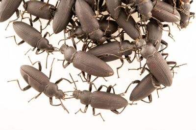 Photo: Adult darkling beetles (Zophobas morio) at Centro Jambatu in Quito, Ecuador.