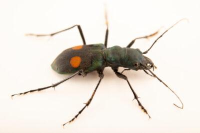 """Photo: A neotropical tiger beetle (Pseudoxychelia quechua) at Museo De Historia Natural """"Alcide d'Orbigny""""."""
