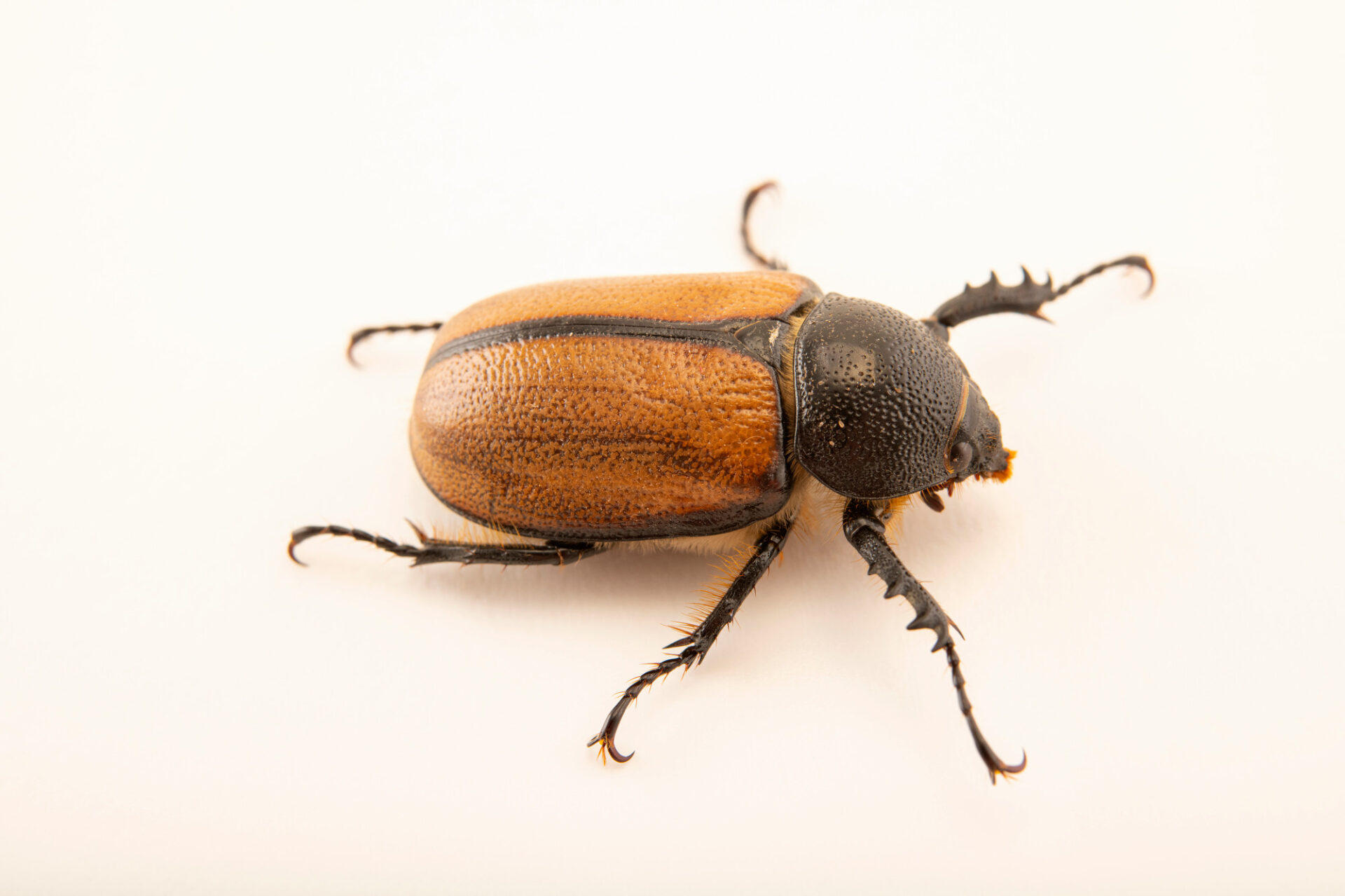 "Photo: A female rhinoceros beetle (Golofa pelagon) at Museo De Historia Natural ""Alcide d'Orbigny""."