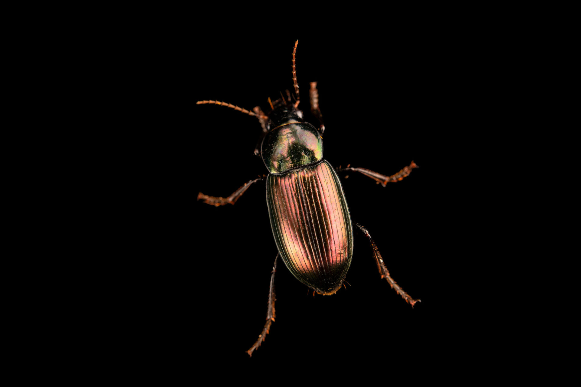 Photo: An unidentified ground beetle belonging to the Carabidae family at Museo d'Orbigny.