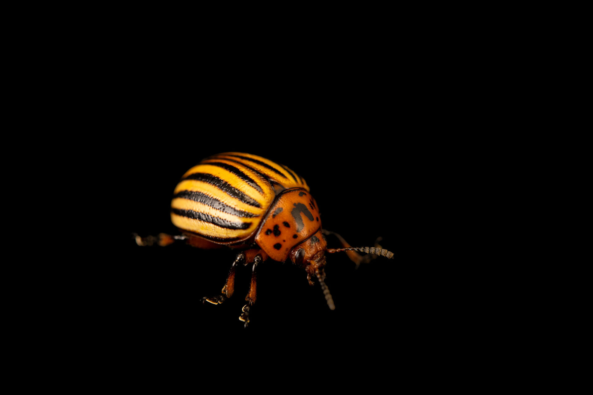 Photo: A Colorado potato beetle (Leptinotarsa decemlineata) at the St. Louis Zoo.